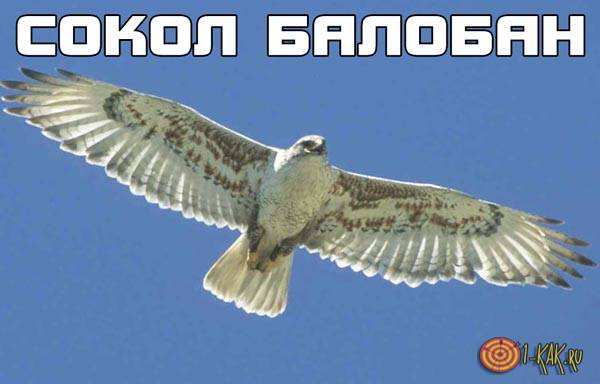 Что за птица сокол балобан?