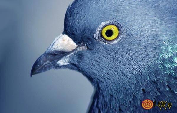 Зрение пернатых