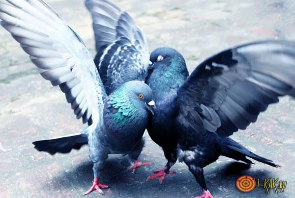 Брачные игры голубей на улице