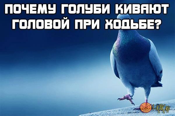 Почему голуби качают головой при ходьбе?