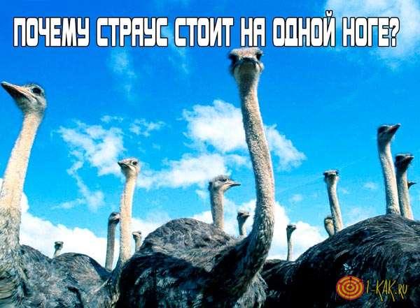 Почему страус стоит на одной ноге или прячет голову