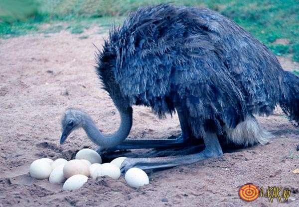 Страус и его яйца