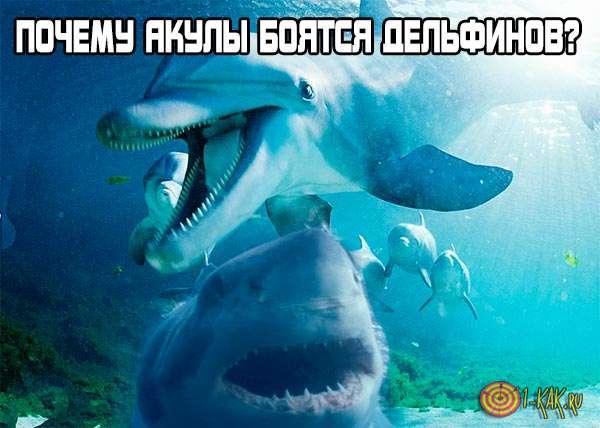 Отчего акулы могут бояться дельфинов?