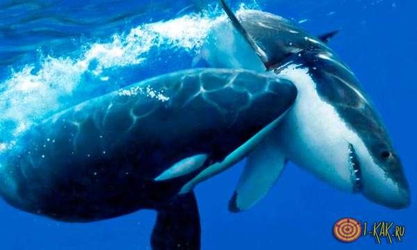 Схватка акулы и дельфина