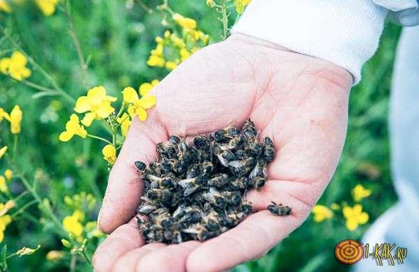 Вот из чего оно готовится - мертвые тушки пчел