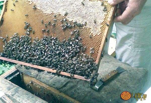 Пчеловод собирает умерших пчел в емкость