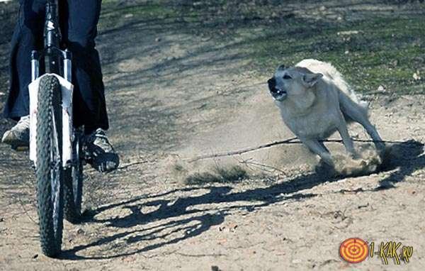 Обороняется от собаки