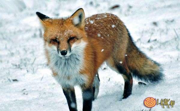 Лиса обыкновенная на снегу