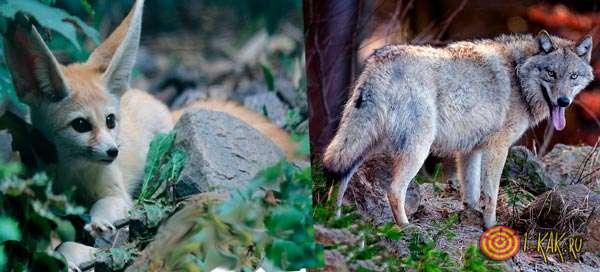 Фенек слева, серый волк справа