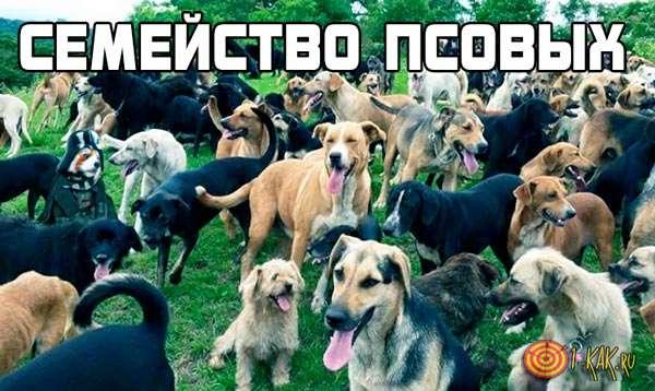 Семейство псовых - кто они